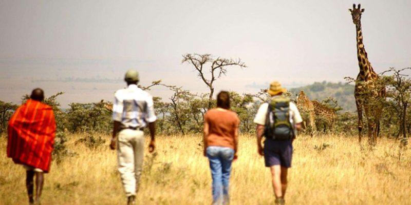 Naboisho Camp - giraffe-walking-safari