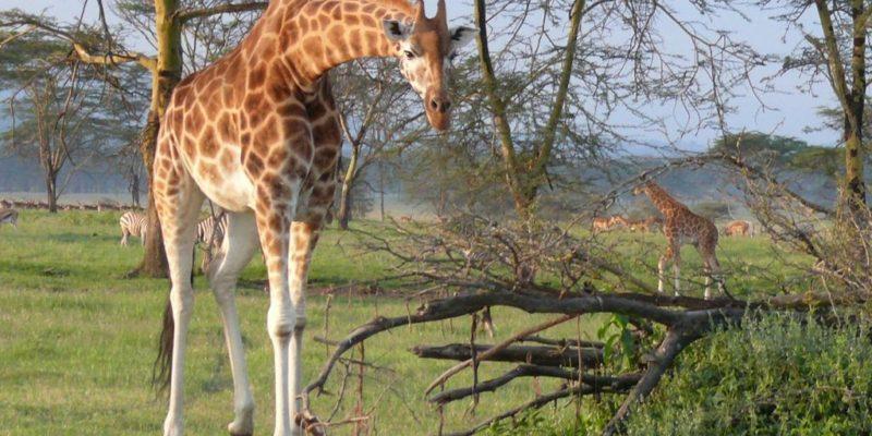 Nakuru Giraffe