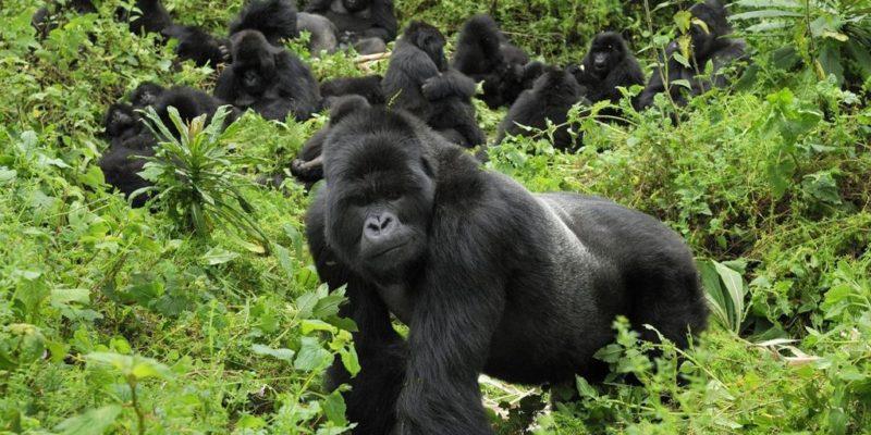 rwanda-mountain-gorillas-volcanoes-national-park-723956_rw