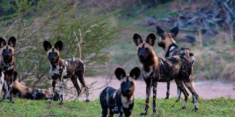 Ruaha wild dogs